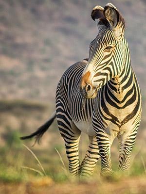 100% Safari
