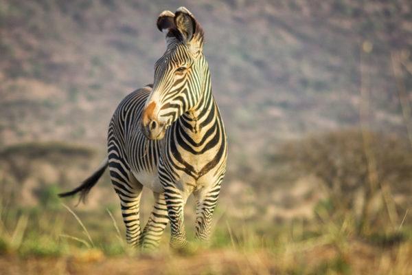 Grevy cebra en Samburu
