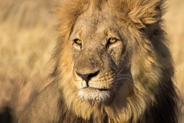 León en Masai Mara