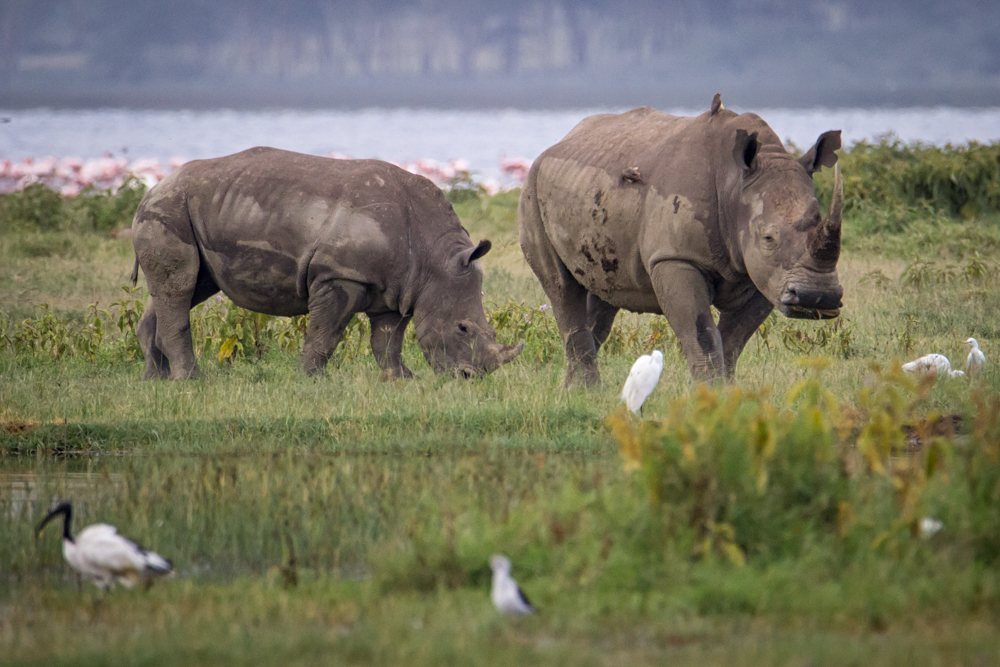 Rinocerontes blancos en Nakuru