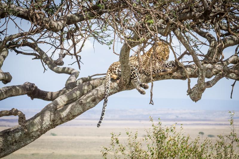 Leopardo en Masai Mara