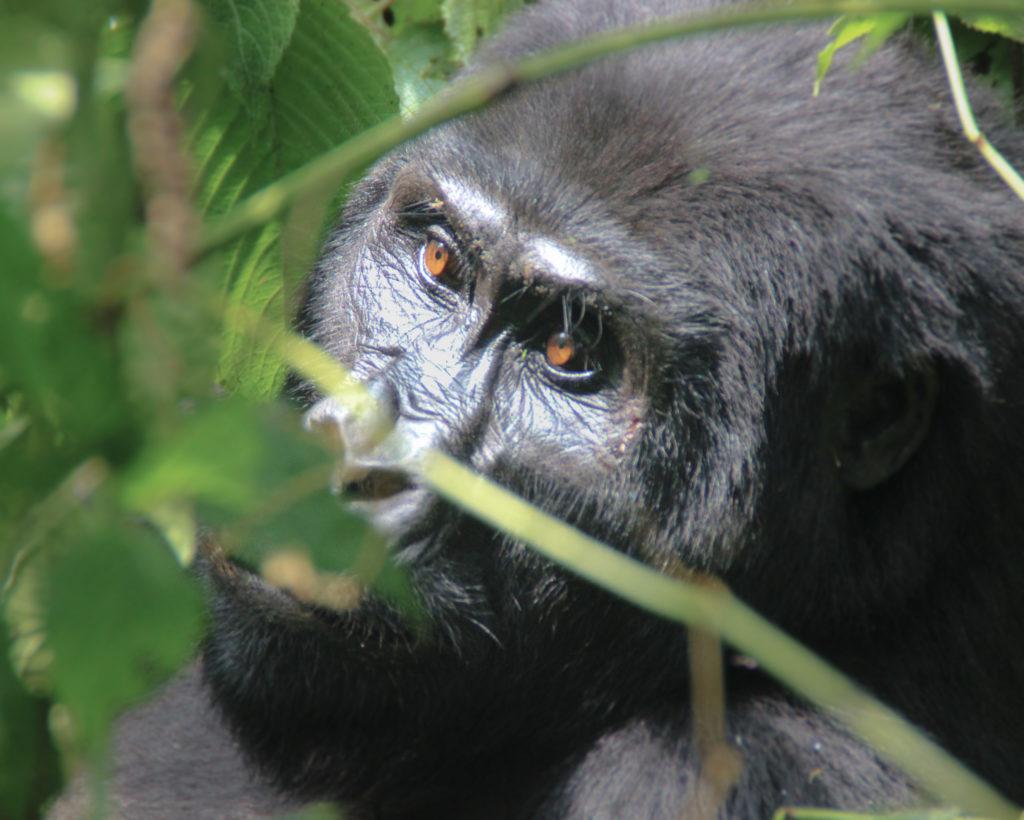 Kasinde_Gorila en Bwindi