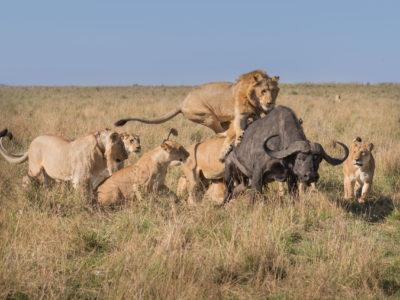 Cacería leones a búfalo en Maasai Mara